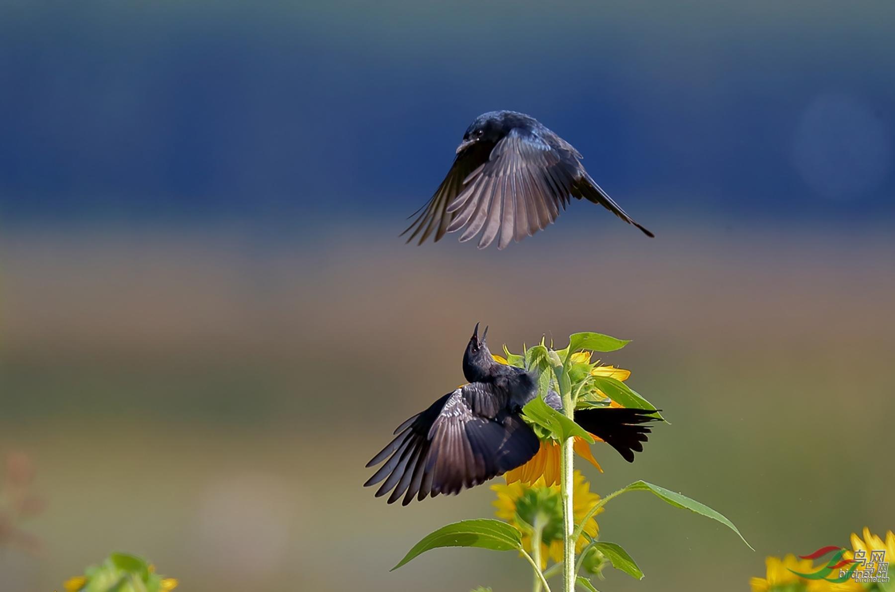 黑卷尾向日葵之战