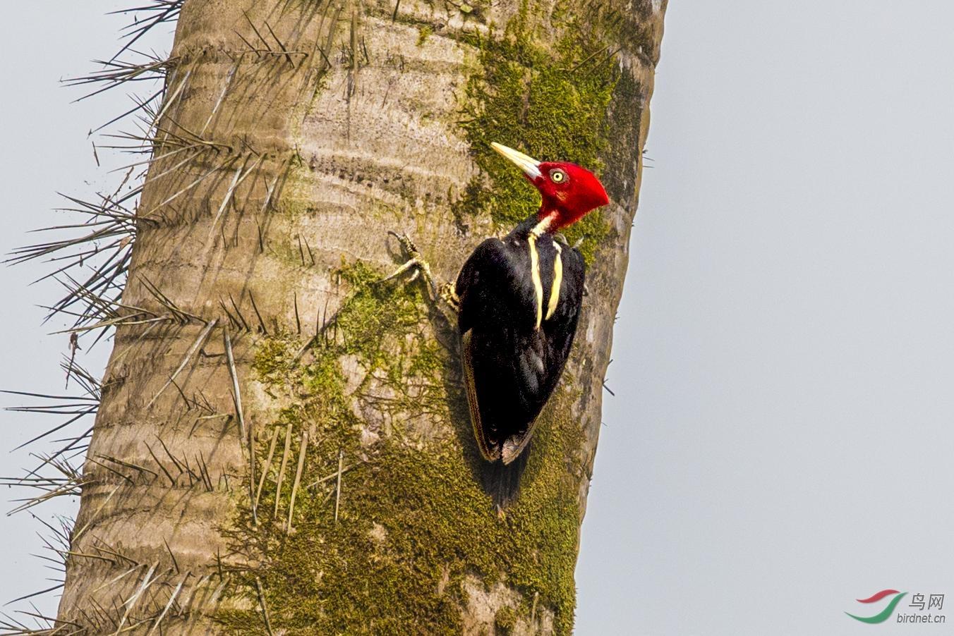16天哥斯达黎加拍鸟团_页面_39_图像_0001.jpg