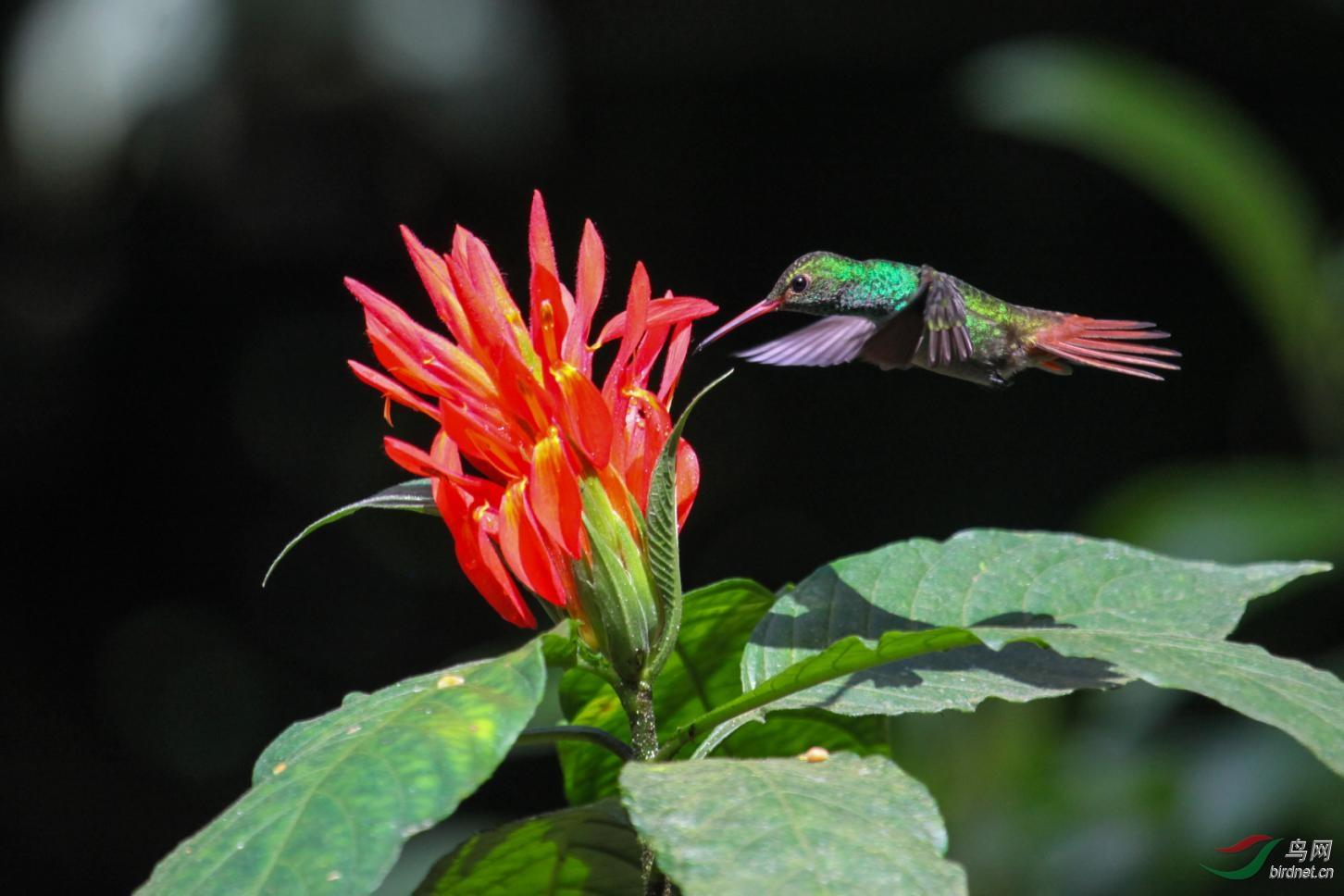16天哥斯达黎加拍鸟团_页面_42_图像_0001.jpg