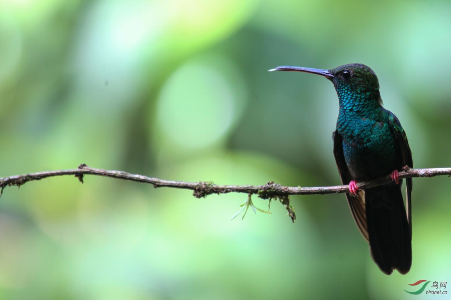 16天哥斯达黎加拍鸟团_页面_42_图像_0002.jpg