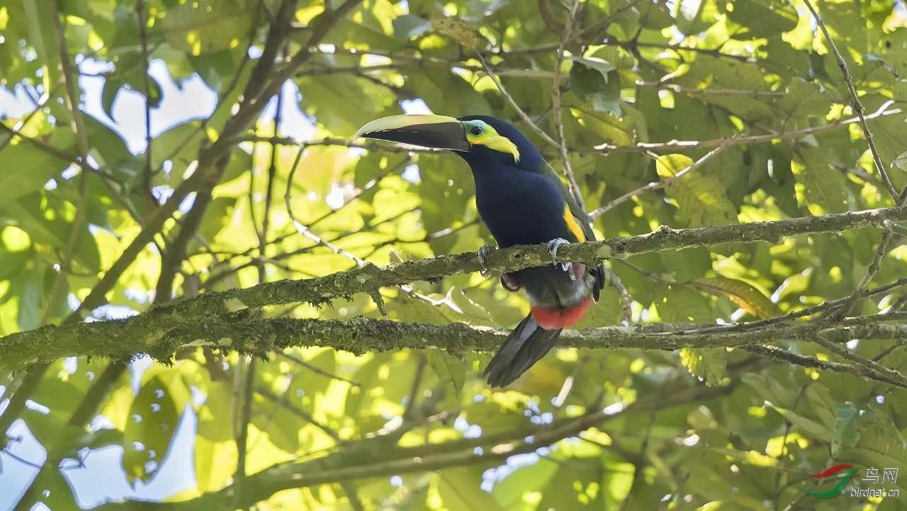 16天哥斯达黎加拍鸟团_页面_53_图像_0001.jpg