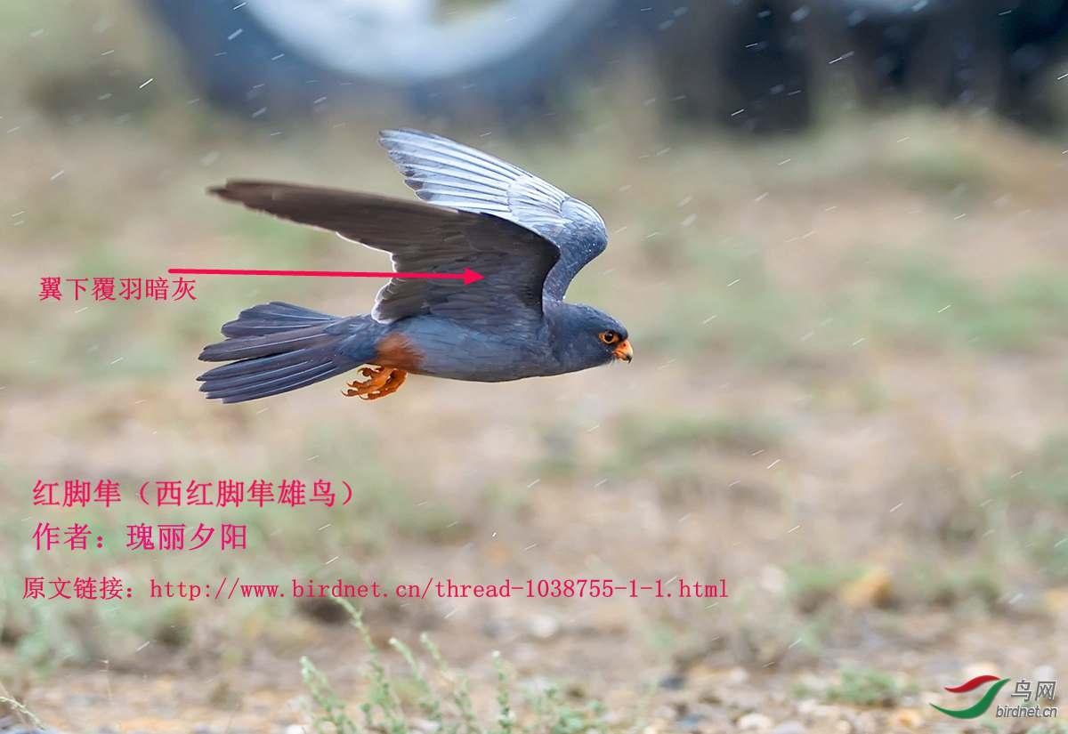 红脚隼雄鸟飞  瑰丽夕阳.jpg