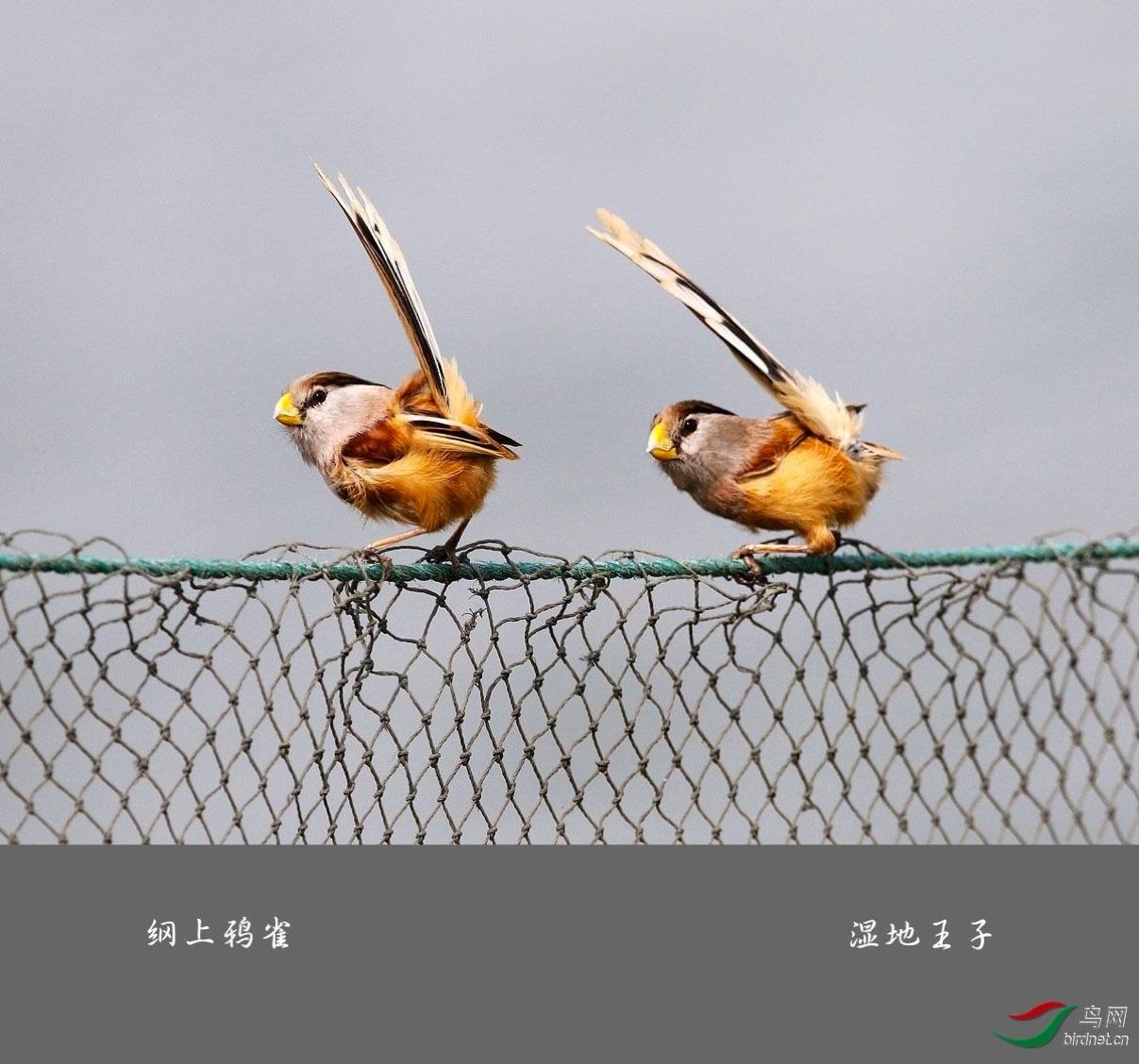 网上鸦雀-湿地王子.jpg