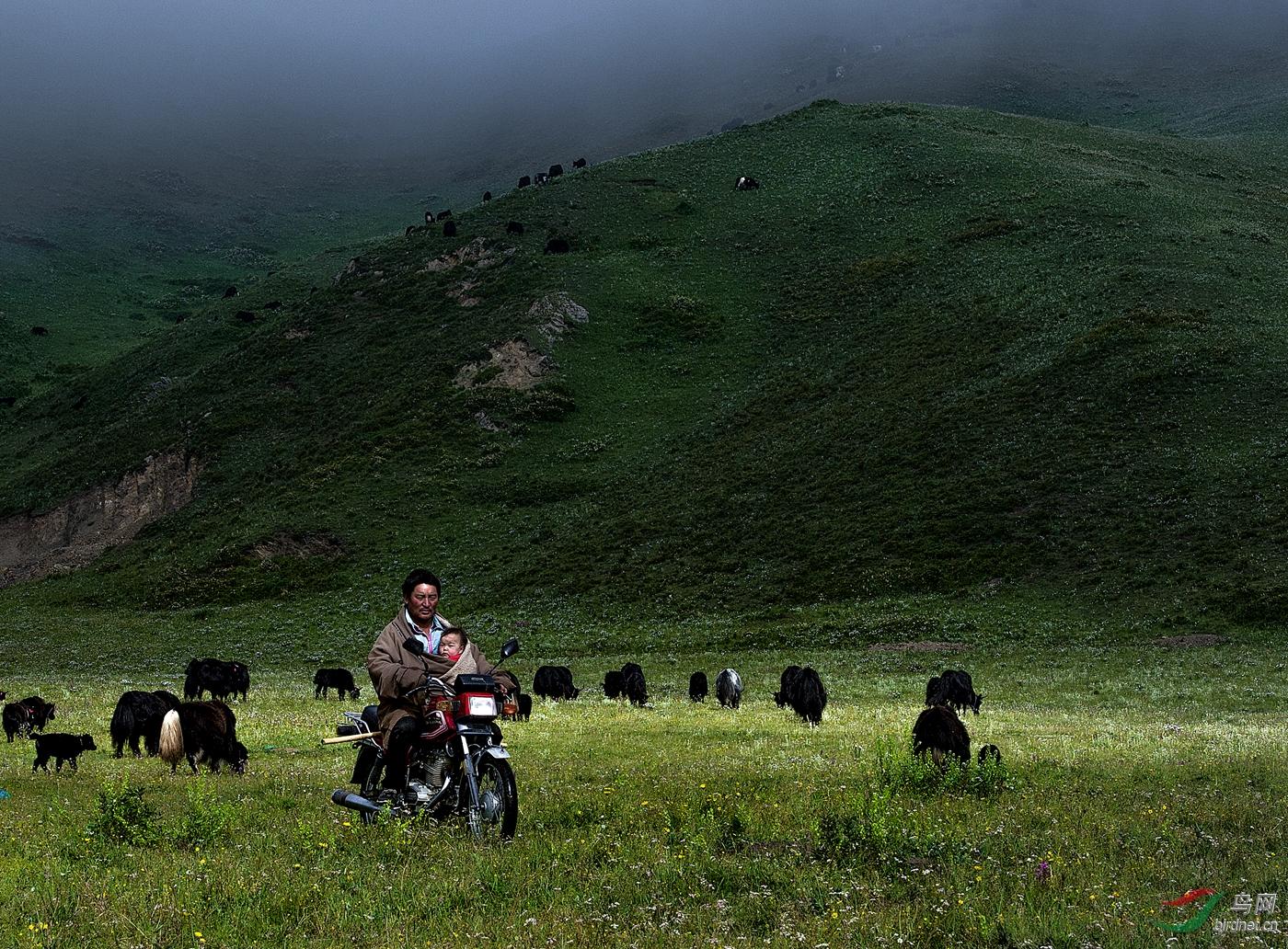 47--《藏族父子牧牛图》--宋林继(山东与人为善).jpg