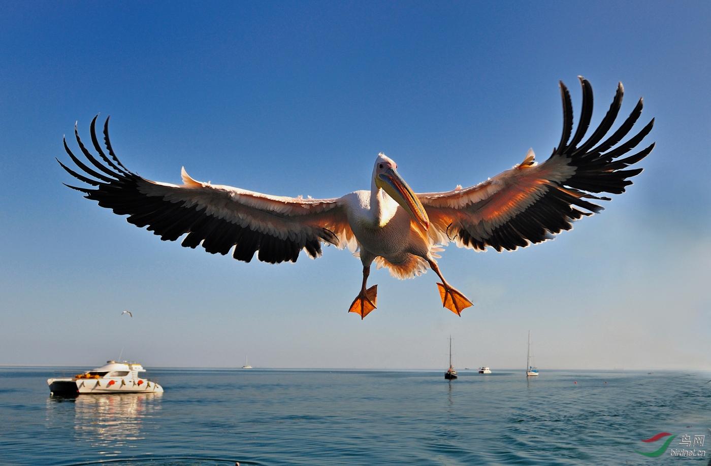 B2-Great White Pelican白鹈鹕--wanghc.jpg