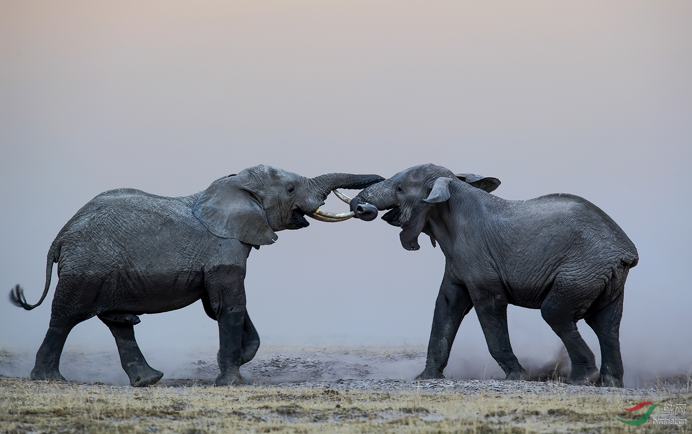 Two African Elephants Are Fighting For The Right To Mate.jpg