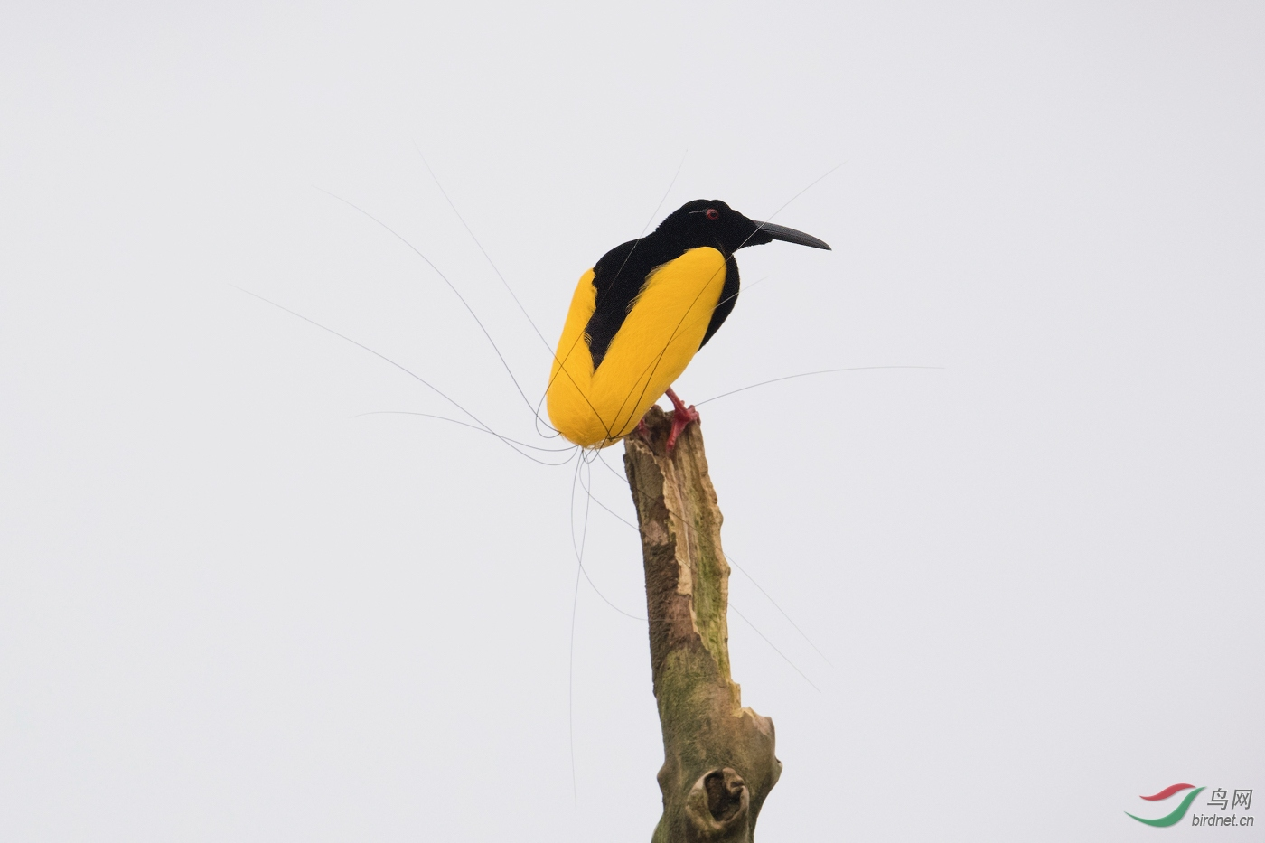 十二线风鸟---Twelve-wired bird of paradise--wnaghc.jpg