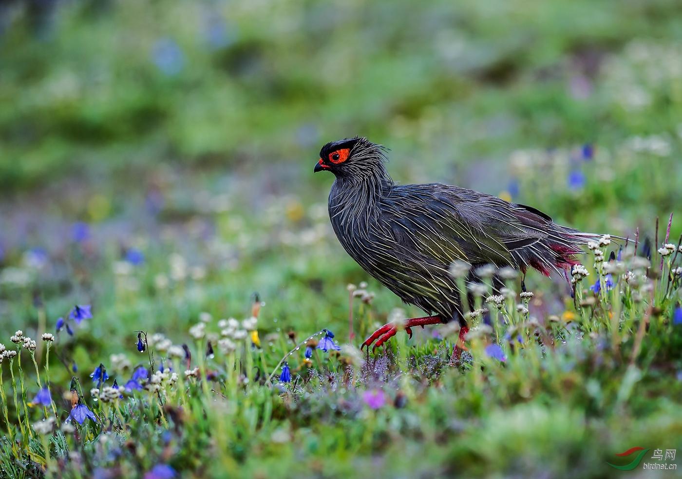 夏季花海中的血雉  A Blood Pheasant In Summer--A2自然类-自然野生动物  心致行随(廖.jpg