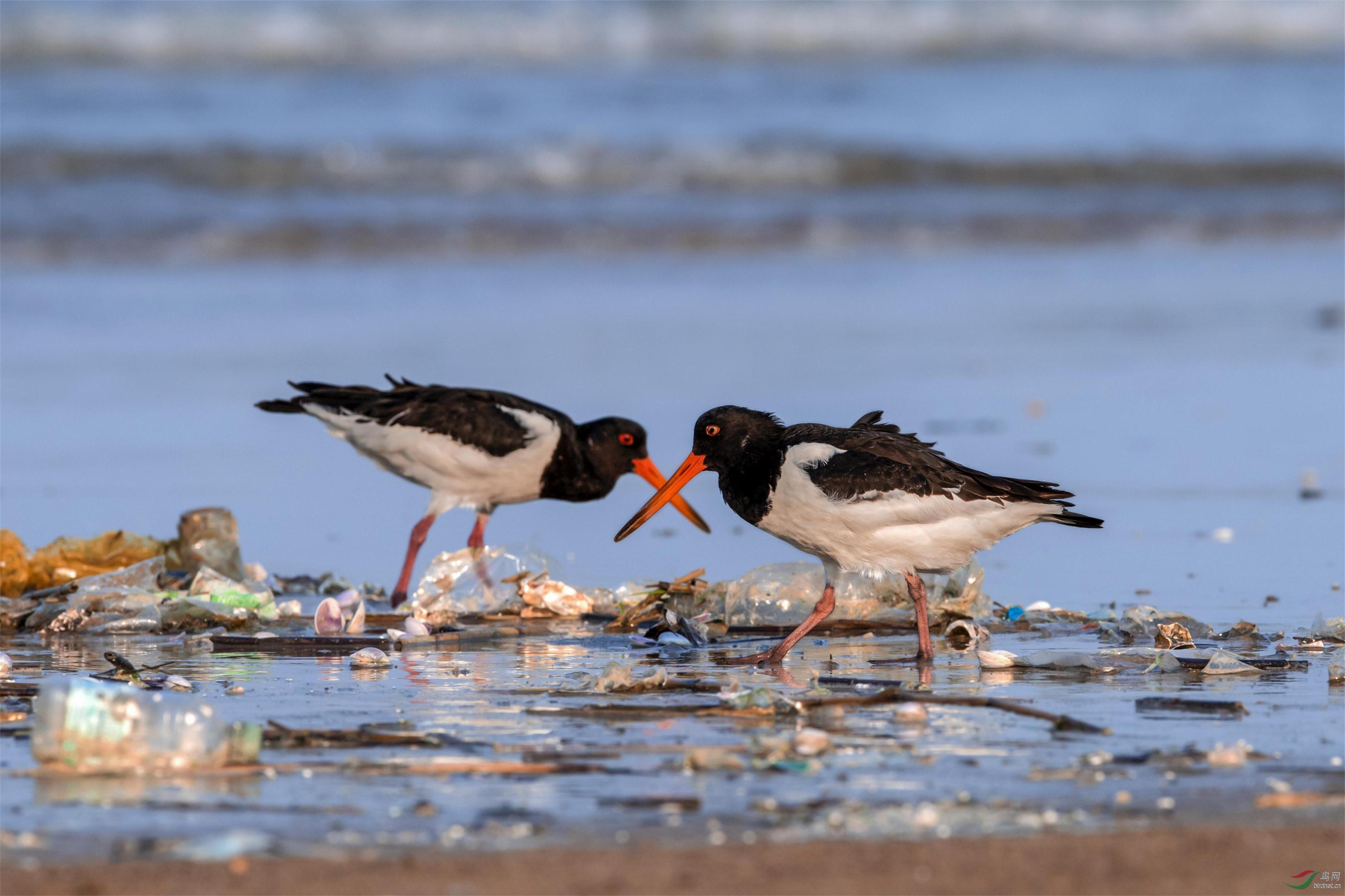 1、对污染的海岸,蛎鹬说《不》!.jpg