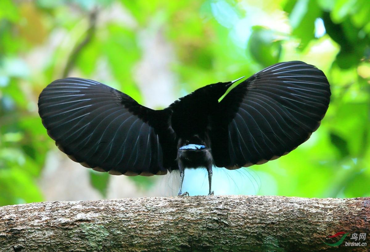 丽色裙风鸟Magnificent Riflebird.jpg
