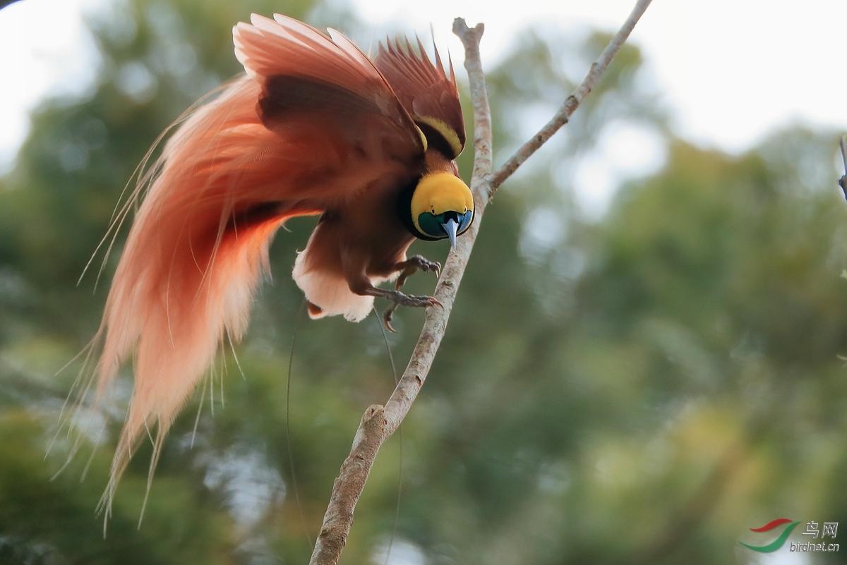 新几内亚极乐鸟Raggiana Bird-of-Paradise.jpg