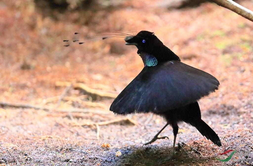 阿法六线风鸟Western Parotia.jpg