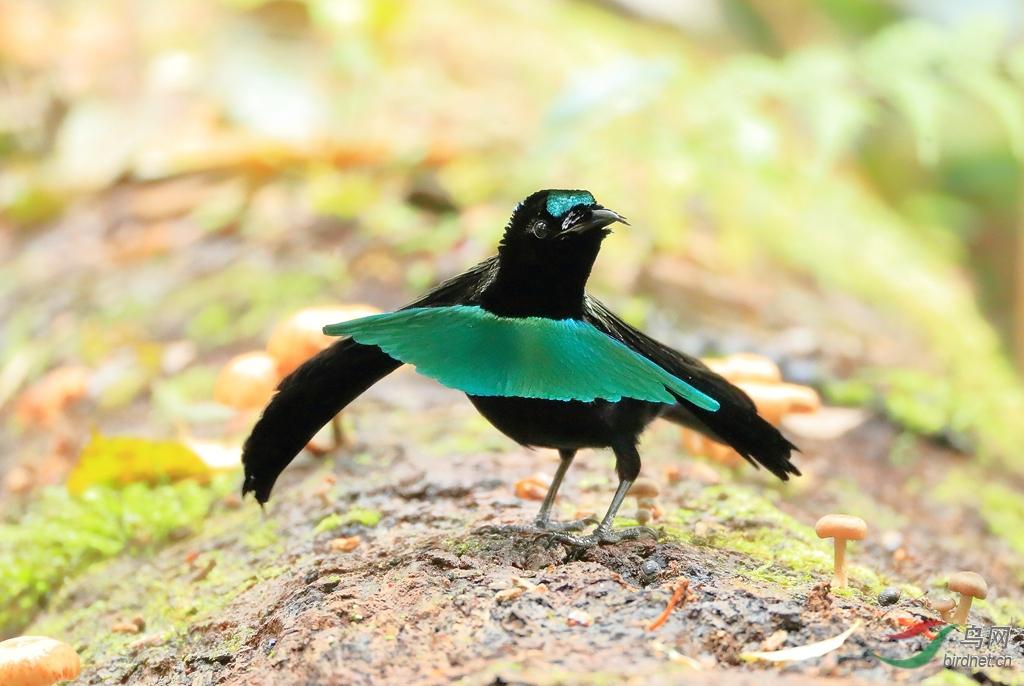 华美极乐鸟Superb Bird-of-Paradise.jpg