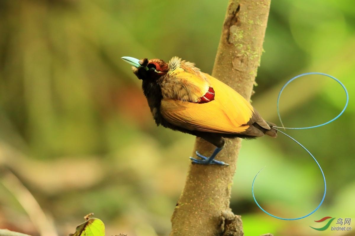 丽色极乐鸟Magnificent Bird-of-Paradise.jpg