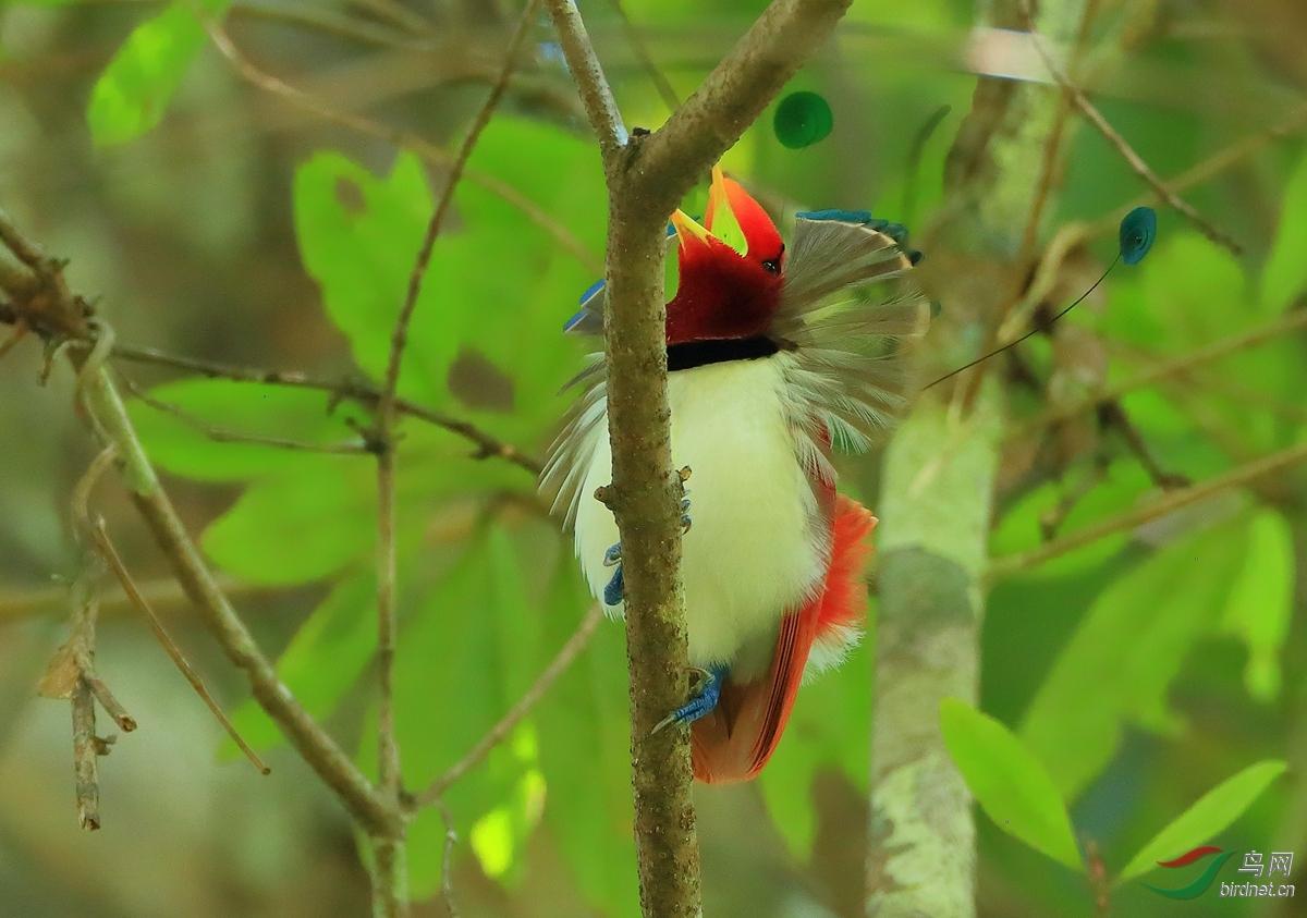 王极乐鸟King Bird-of-Paradise.jpg