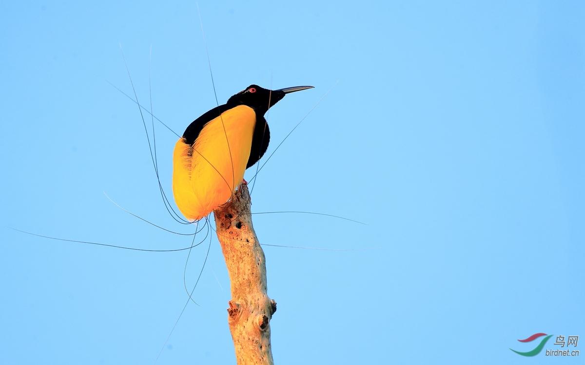 十二线风鸟Twelve-wired Bird-of-Paradise.jpg