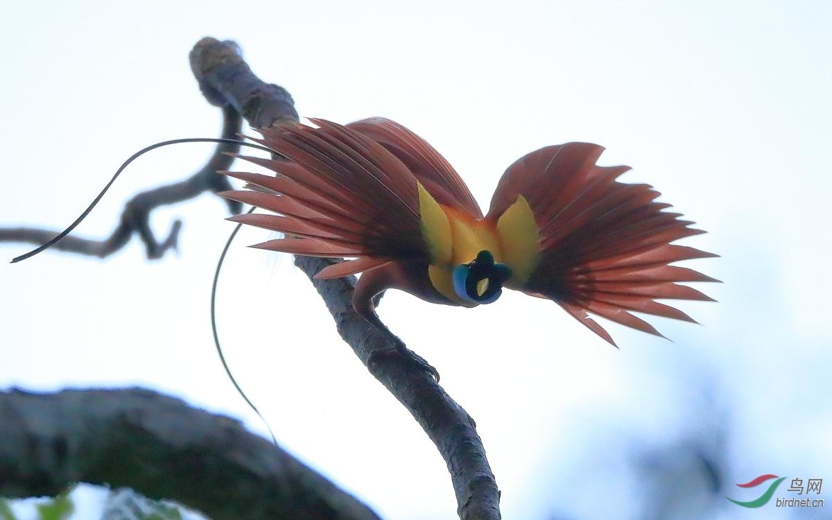 红极乐鸟Red Bird-of-Paradise.jpg