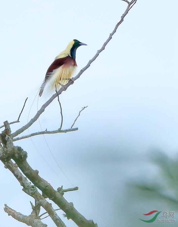 线翎极乐鸟Emperor Bird-of-Paradise.jpg