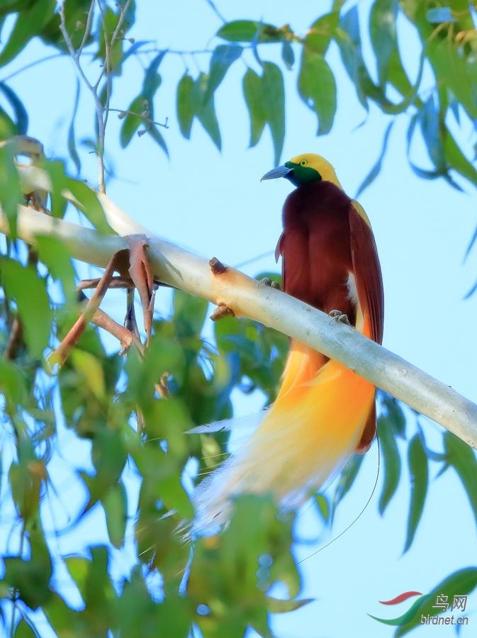 小极乐鸟Lesser Bird-of-Paradise.jpg