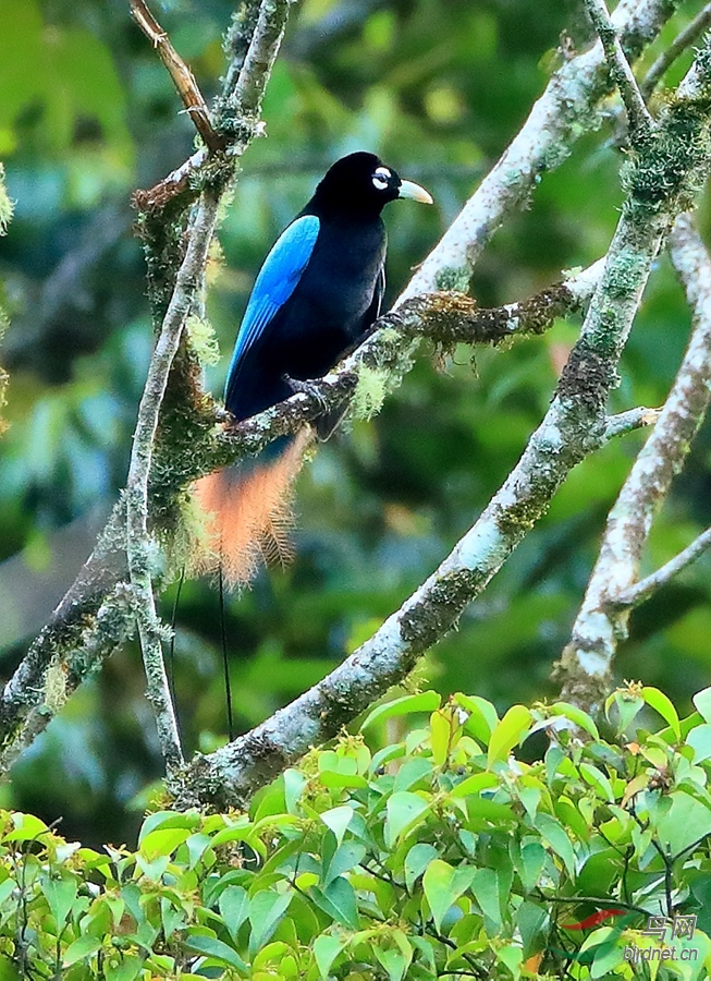 蓝极乐鸟Blue Bird-of-Paradise.jpg
