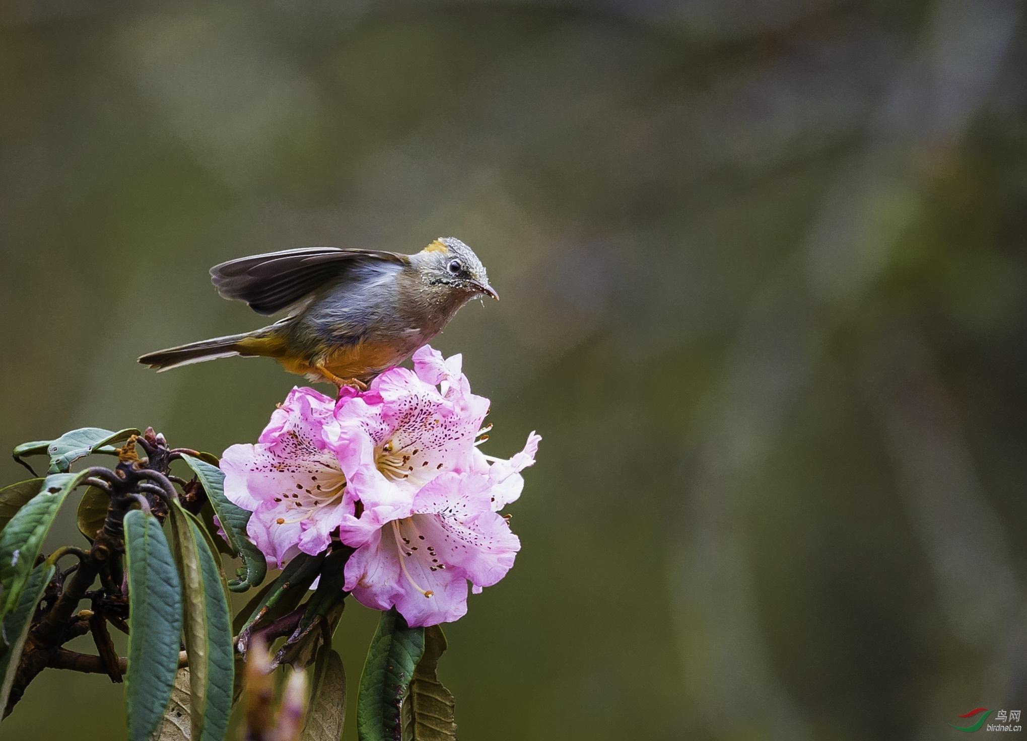 棕肛凤鹛-藏南亚种.jpg