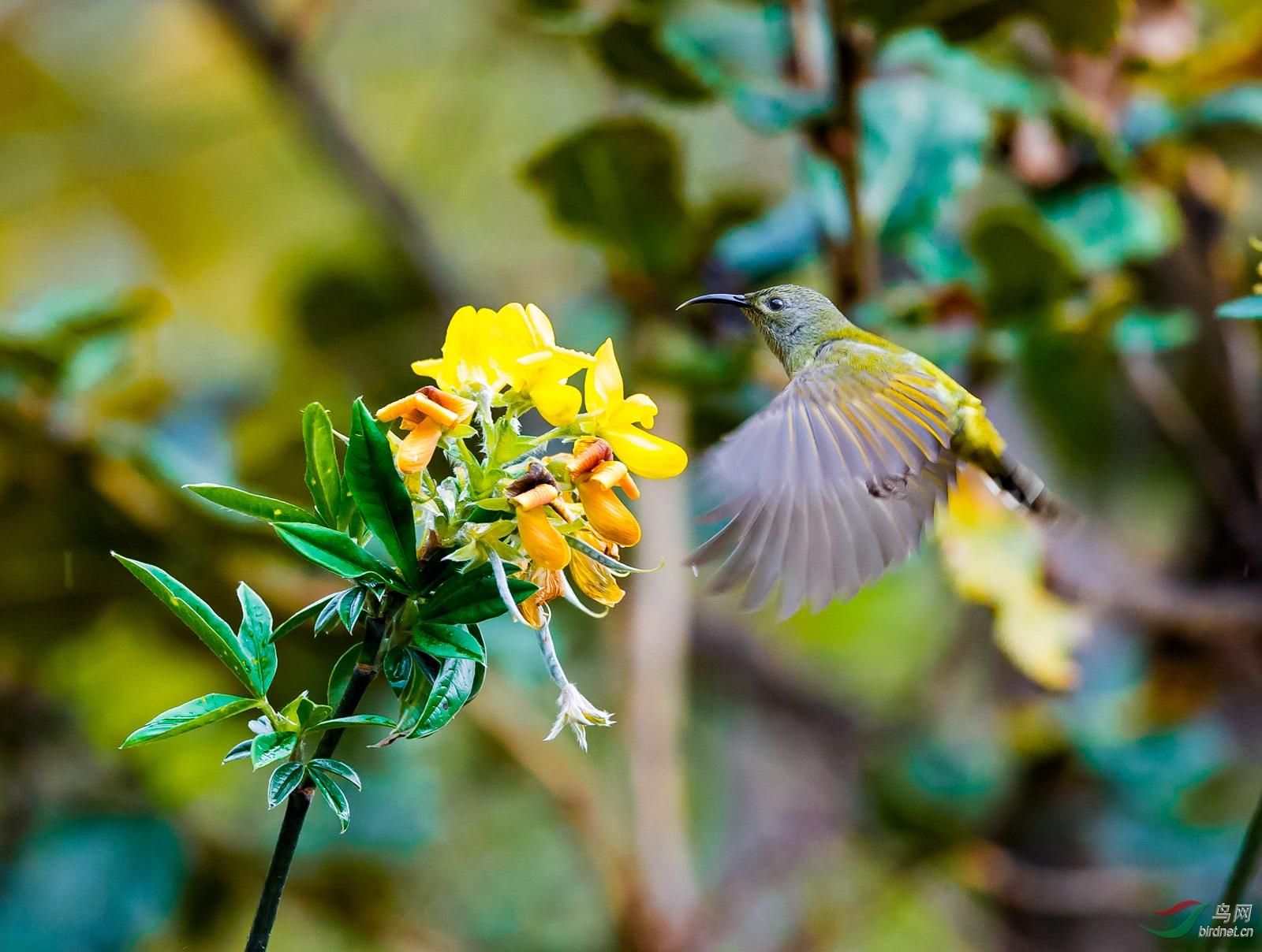 绿喉太阳鸟(雌)500k.jpg