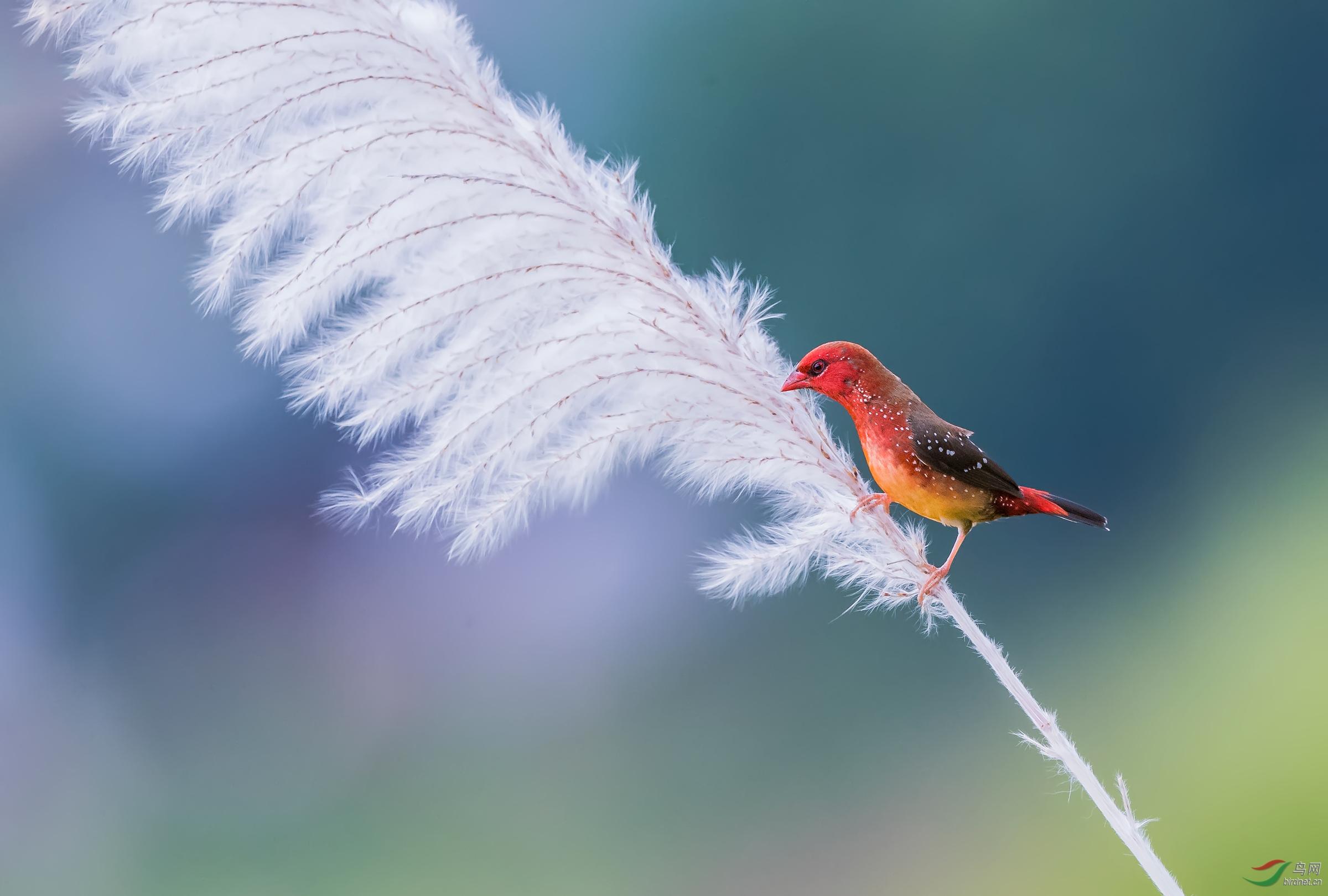 红梅花雀采苇花