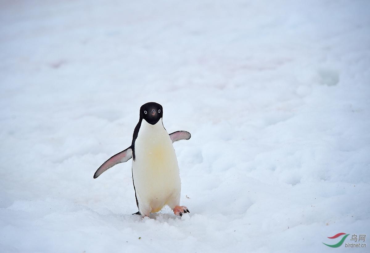 6阿德利企鹅.JPG