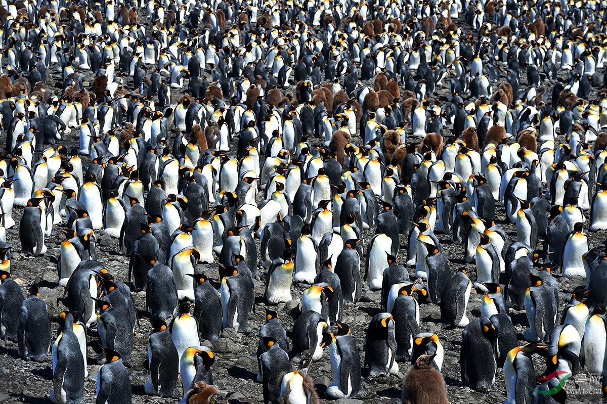 在那些宽阔的营巢地,企鹅可以多达数十万只,成为南极大陆上最壮观的景象之一.JPG