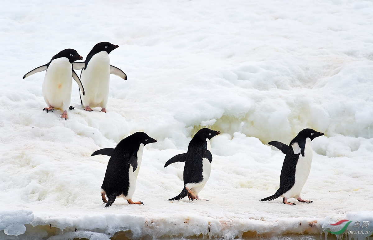 阿德利企鹅在黑色的脑袋上长着两粒小白色圈的眼睛,看上去就是贼溜溜,加上走路一摇一.jpg