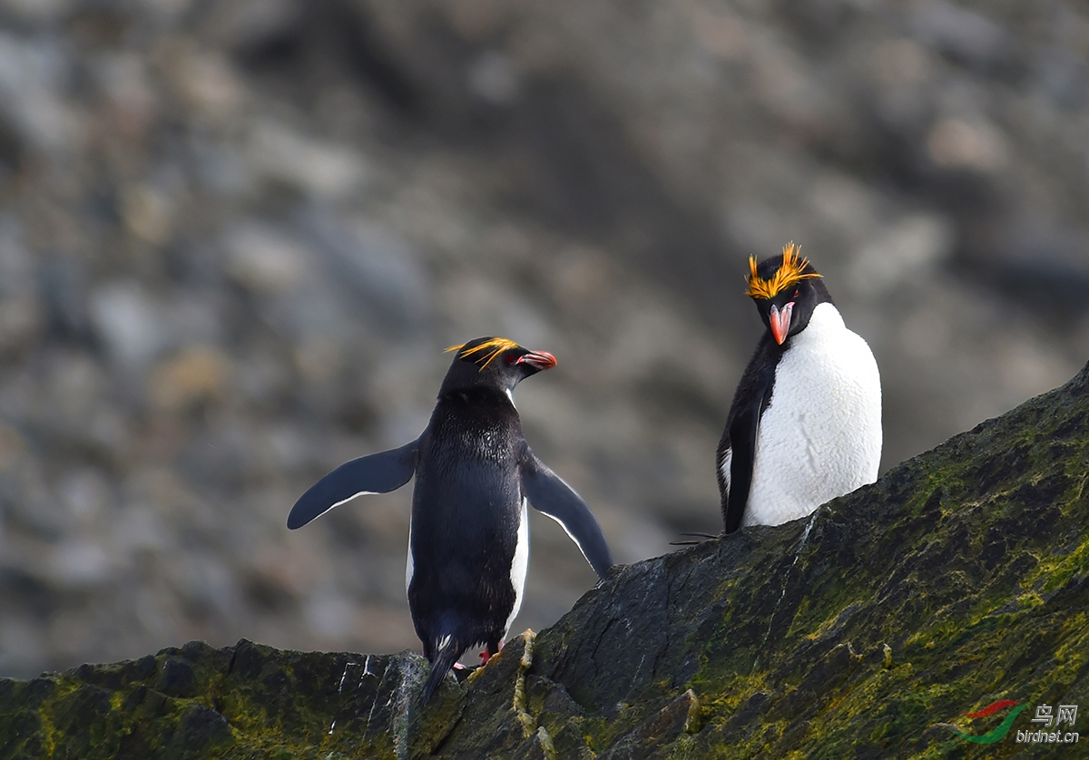 马克罗尼企鹅显著特征头顶的长长的金色羽毛.JPG