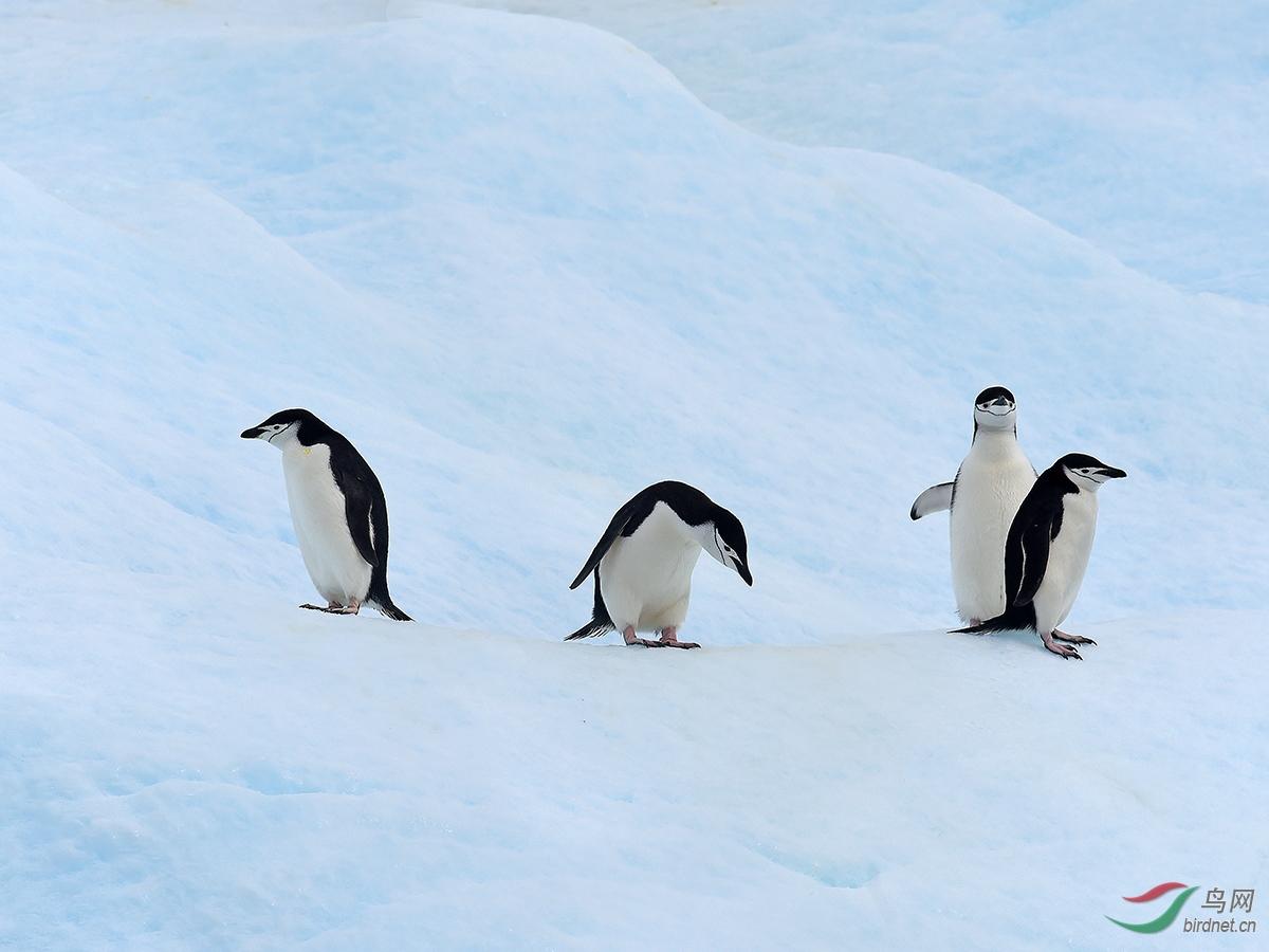 帽带企鹅,是不是很像海军呢?尤其是脸上的黑带就是海军帽带.JPG