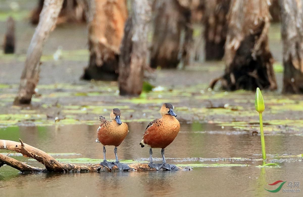 斑胸树鸭Wandering Whistling-Duck.jpg