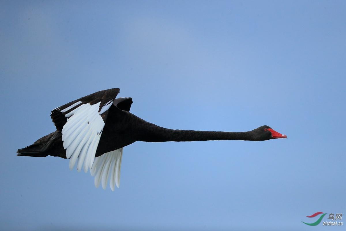 黑天鹅Black Swan.jpg