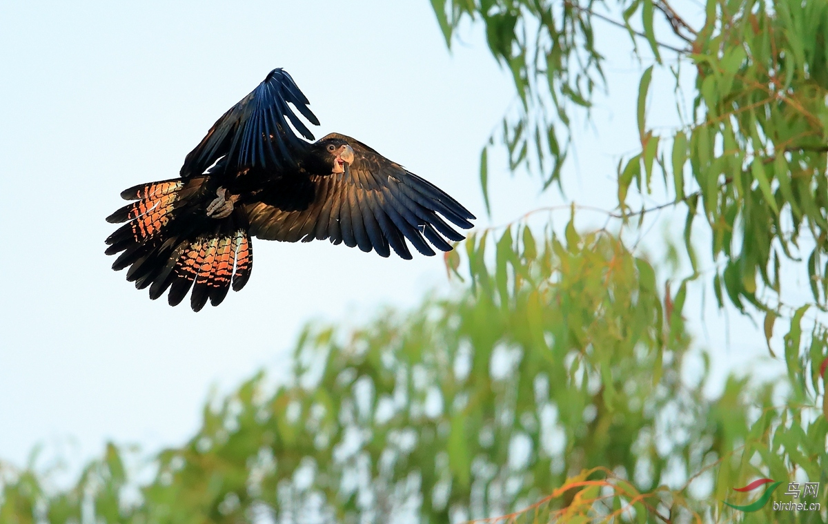红尾凤头鹦鹉Red-tailed Black-Cockat.jpg