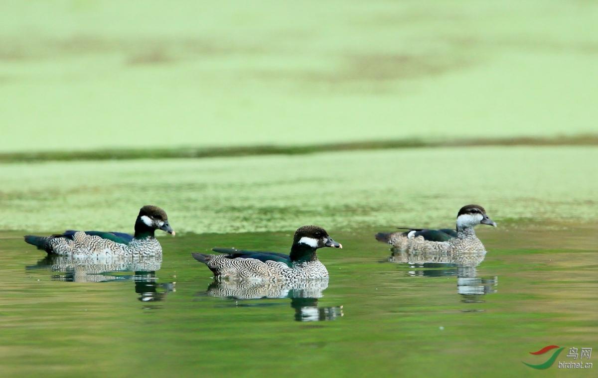 绿棉凫Green Pygmy-Goose.jpg