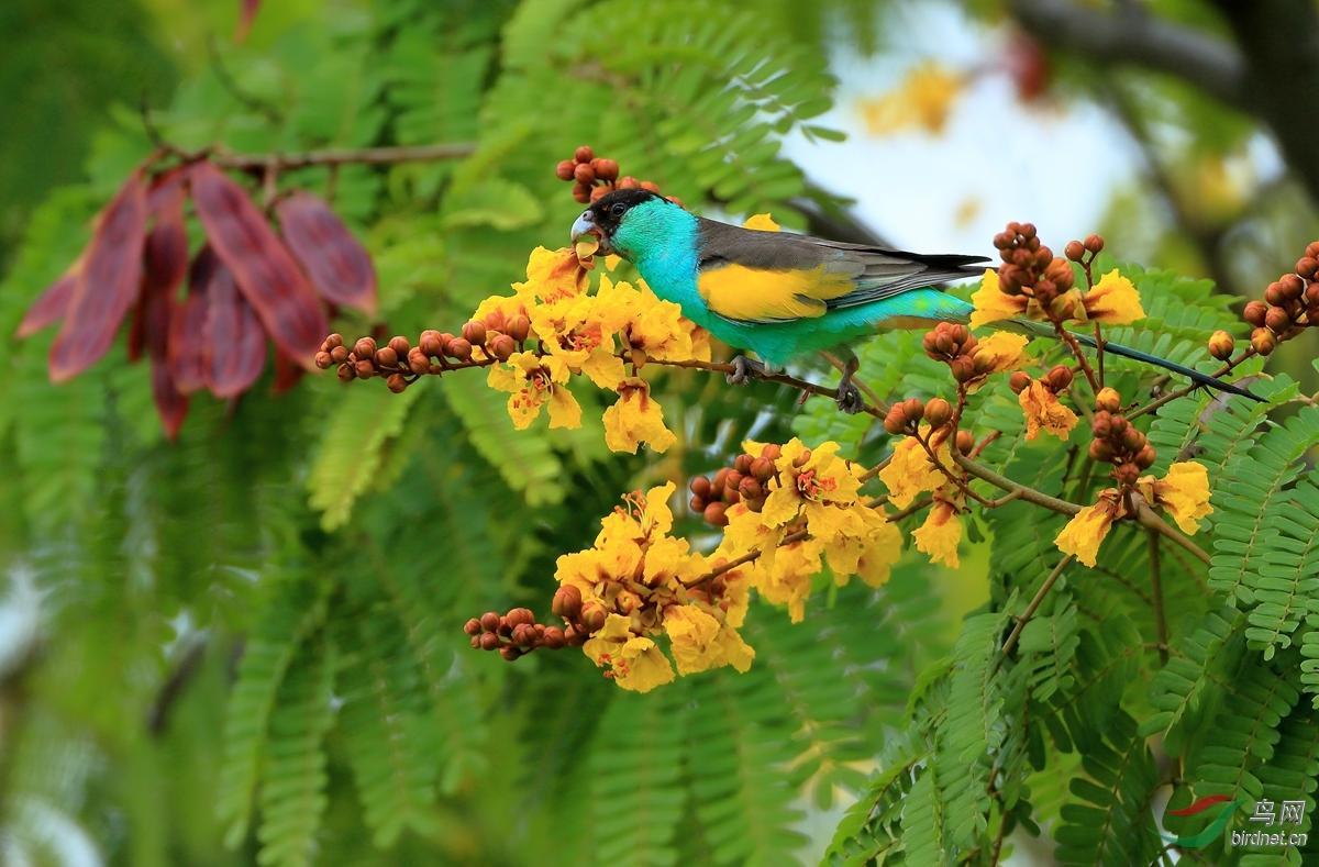 黑冠鹦鹉Hooded Parrot.jpg