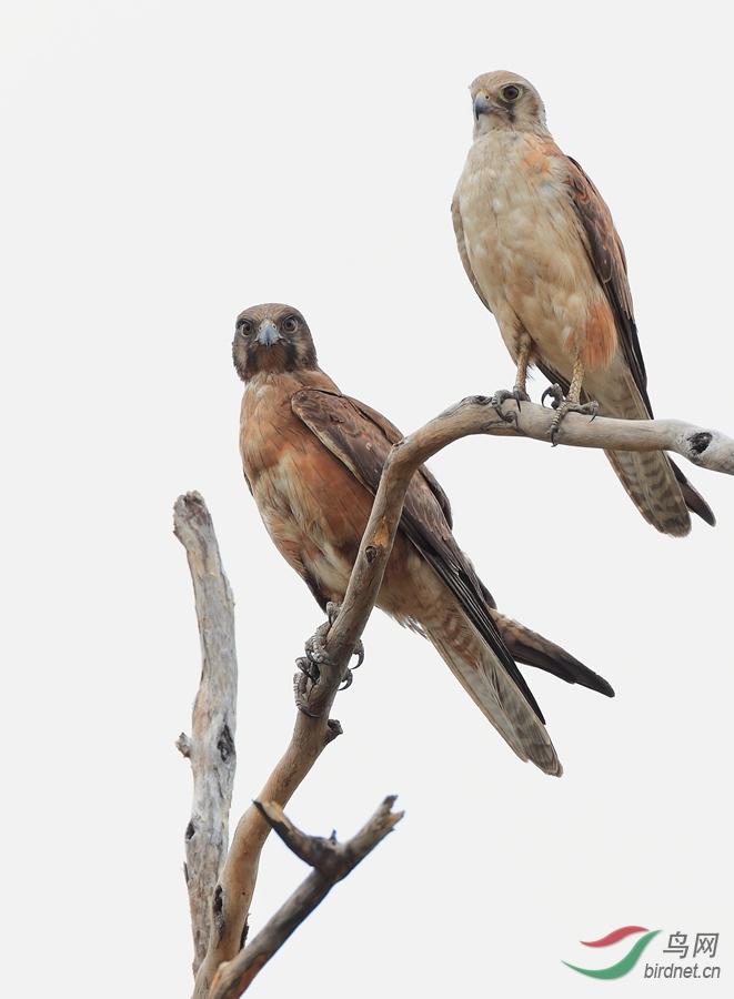 褐隼Brown Falcon.jpg
