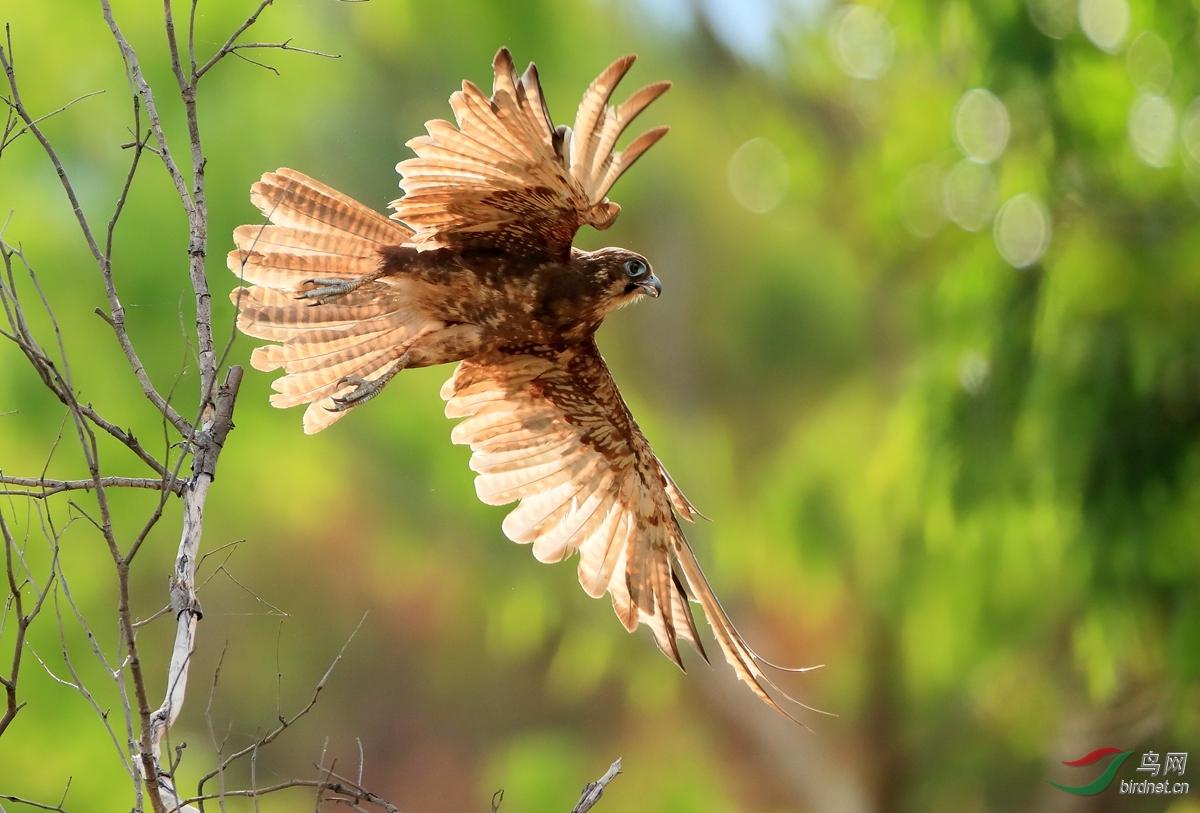 褐鹰Brown Goshawk.jpg