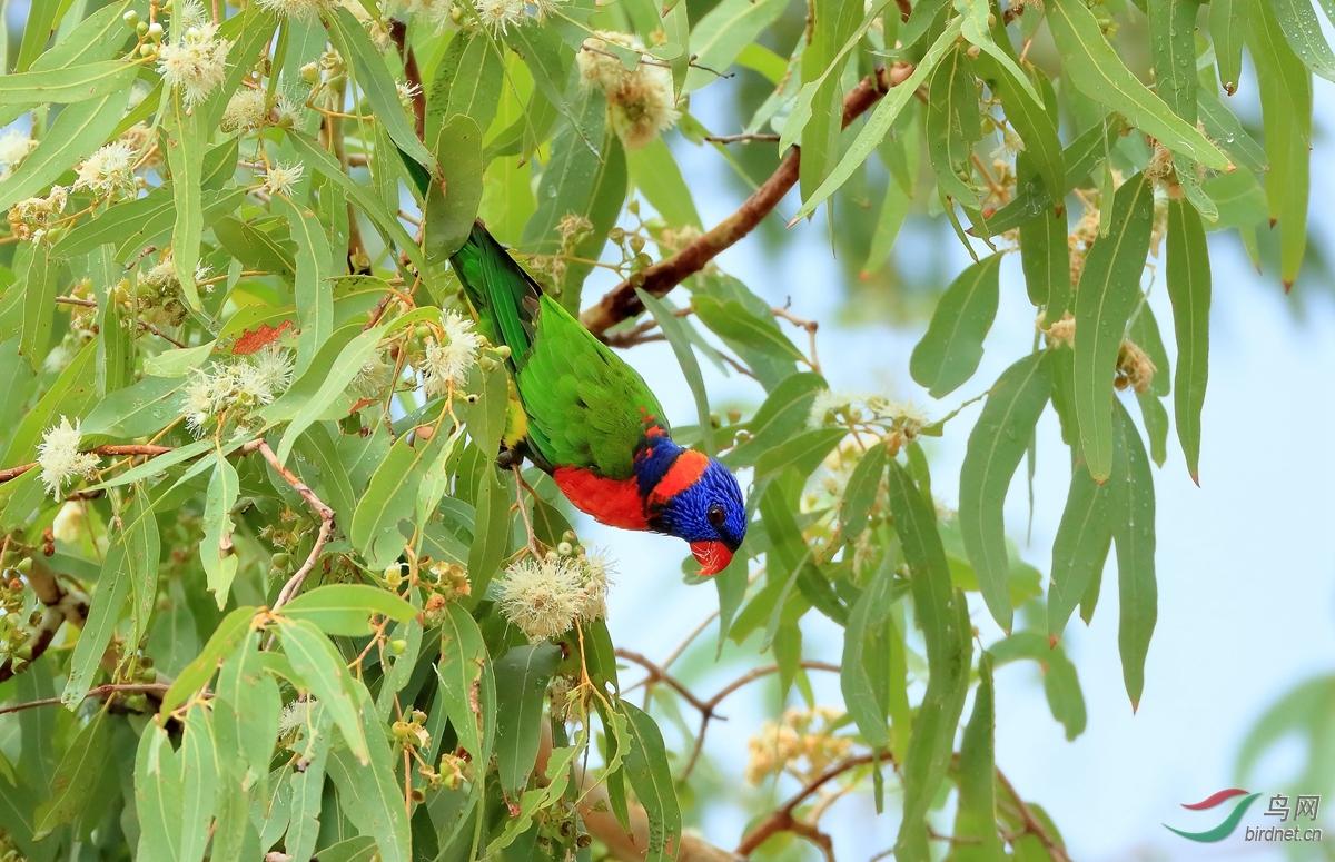 红领鹦鹉red-collared lorikeet.jpg