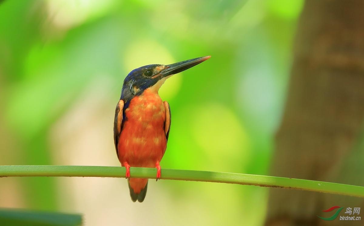 蓝翠鸟Azure Kingfisher.jpg