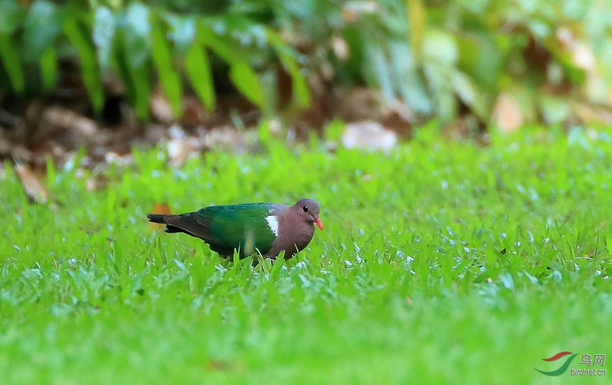 太平洋金鸠Pacific Emerald Dove.jpg