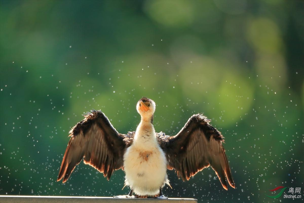 小斑鸬鹚Little Pied Cormorant.jpg