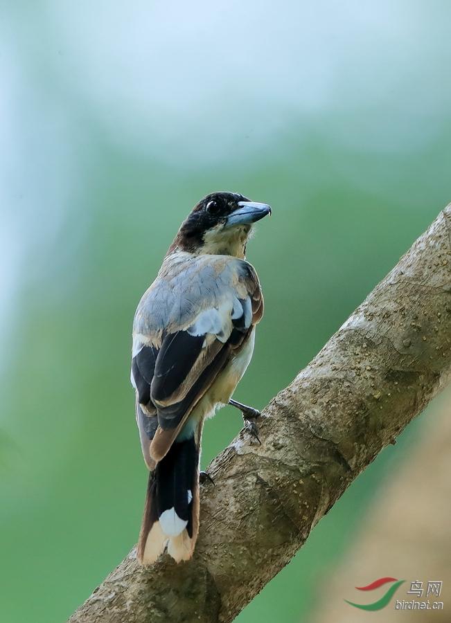 银背钟鹊silver-backed butcherbird.jpg