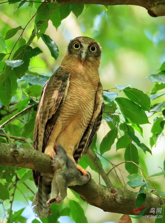 棕鹰鸮Rufous Owl.jpg