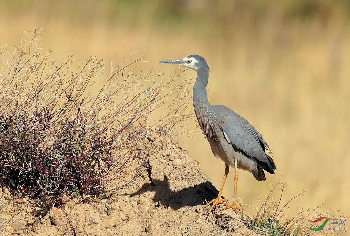 白脸鹭White-faced Heron.jpg