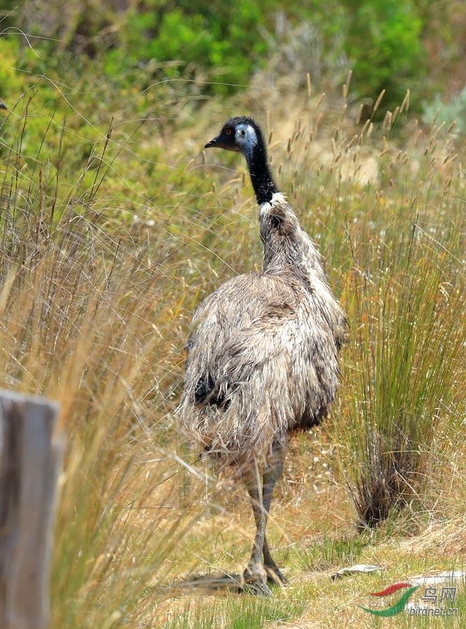 鸸鹋Emu.jpg