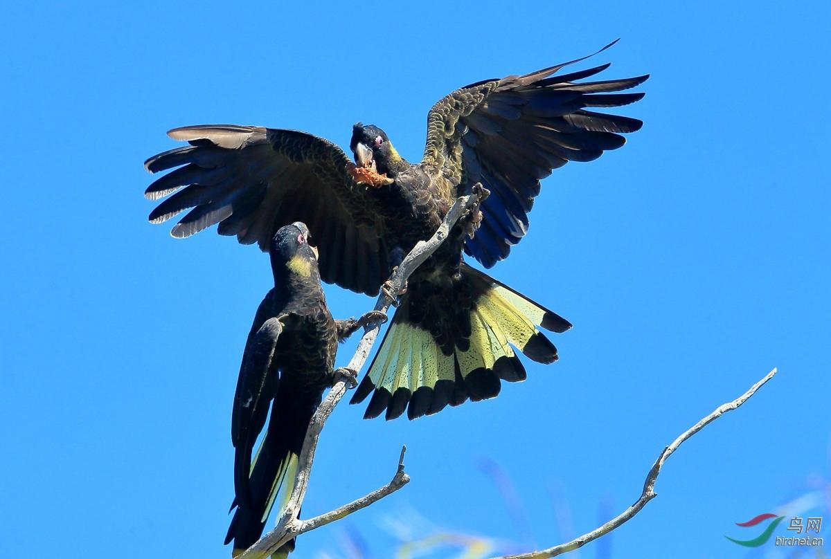 黑凤头鹦鹉Yellow-tailed Black-Cockatoo.jpg