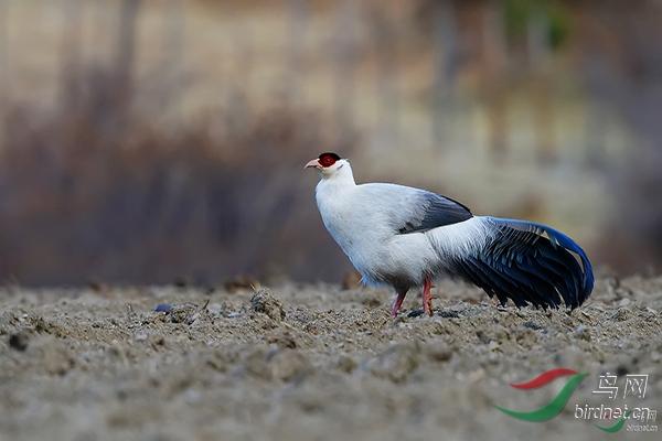 白马鸡2.jpg
