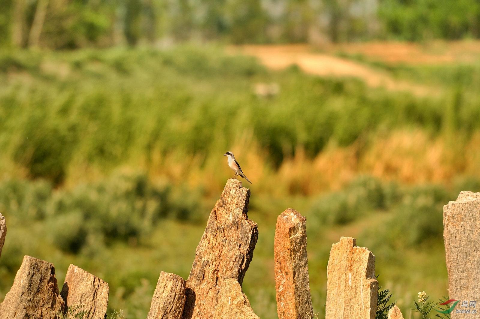 野外的小鸟3.jpg